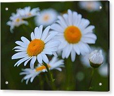 Daisy Acrylic Print by Athena Mckinzie