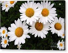 Daisy Blossoms Acrylic Print