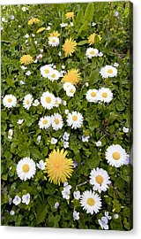 Daisy, Dandelions And Slender Speedwell Acrylic Print by Bob Gibbons