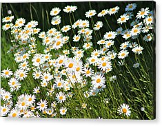 Daisy Day's Acrylic Print by Karen Grist