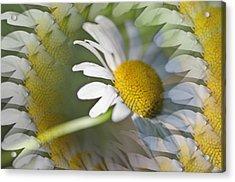Daisy Delight Acrylic Print by Cheryl Cencich