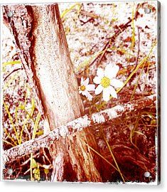 Daisy In The Rough Acrylic Print by Frank Winters
