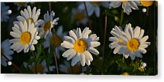 Acrylic Print featuring the photograph Daisy by Rima Biswas