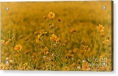 Daisy's Acrylic Print