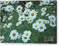 Daisy's Don't Tell Acrylic Print