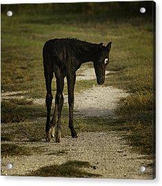 Damp Cracker Foal Acrylic Print by Lynn Palmer