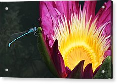 Damselfly On Pink Waterlily Acrylic Print by Becky Lodes