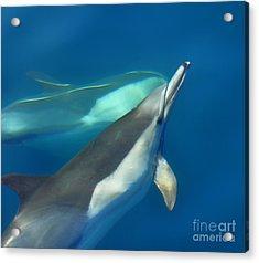 Dana Point Dolphins Ascending Acrylic Print by Loriannah Hespe