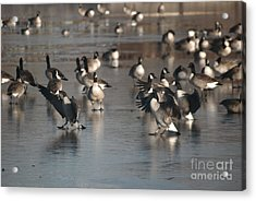 Acrylic Print featuring the photograph Dancing Geese by Mark McReynolds