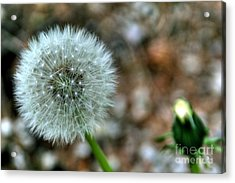 Acrylic Print featuring the photograph Dandelion by Adrian LaRoque