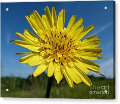 Dandelion Acrylic Print by Christine Stack