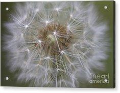 Dandelion Clock. Acrylic Print