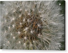 Dandelion Fairy Seeds Acrylic Print by Peg Toliver