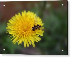 Acrylic Print featuring the photograph Dandelion For Dinner by Lynnette Johns