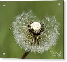Dandelion Half Gone Acrylic Print