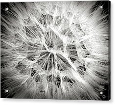 Dandelion In Black And White Acrylic Print by Endre Balogh