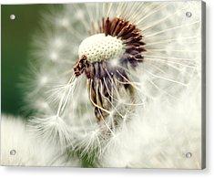 Dandelion No1 Acrylic Print