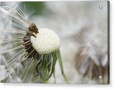 Dandelion Photograph Acrylic Print