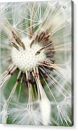 Dandelion Photography 4 Acrylic Print by Falko Follert
