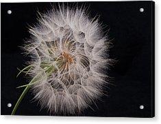 Dandelion Silhouette Acrylic Print by Ivelina G