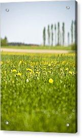 Dandelions Growing In Meadow Acrylic Print by Stock4b-rf