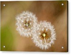 Dandelions Acrylic Print by Perry Van Munster
