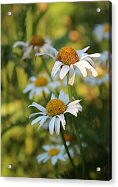 Dapper Daisies Acrylic Print by Kathleen Holley