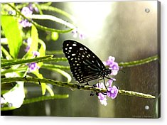 Dark Blue Tiger Butterfly In The Rain Acrylic Print