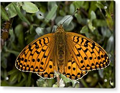 Dark Green Fritillary Butterfly Acrylic Print by Dr Keith Wheeler