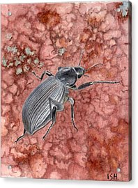 Darkling Beetle Acrylic Print by Inger Hutton
