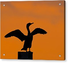 Dawn Of A Double-crested Cormorant  Acrylic Print