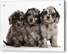 Daxiedoodle Poodle X Dachshund Puppies Acrylic Print by Mark Taylor