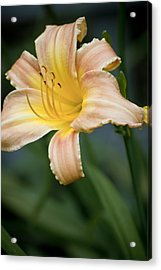 Day Lily In Bloom Acrylic Print