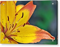 Daylily In Yellow Acrylic Print by Tina Karle