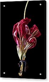 Dead Dried Tulip Acrylic Print by Garry Gay