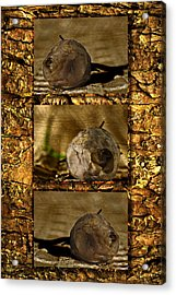 Acrylic Print featuring the photograph Dead Rosebud Triptych by Steve Purnell