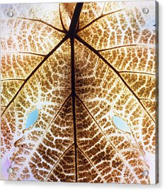Decomposition Of Leaf Of A Grape Vine Acrylic Print by Dr Jeremy Burgess