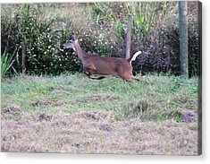 Acrylic Print featuring the photograph Deer At Viera by Jeanne Andrews