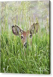 Deer In Hiding Acrylic Print by Art Whitton