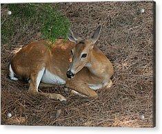 Deer  Acrylic Print by Lisa Williams