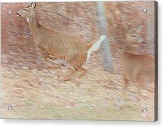 Deer On The Run Acrylic Print by Karol Livote