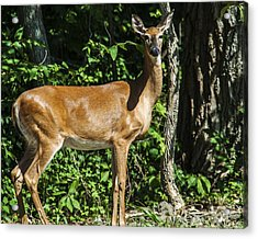 Deer Surprise Acrylic Print by Edward Peterson