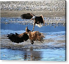 Defending Territory Acrylic Print by Carrie OBrien Sibley
