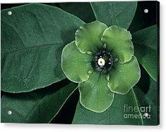 Deherainia Smaragdina Flower Acrylic Print by Bob Gibbons