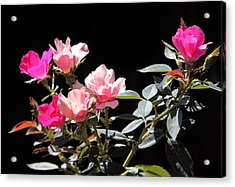 Delicate Old Fashion Pink Roses Acrylic Print by Linda Phelps