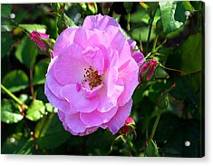 Delicate Pink Wild Rose With Dew Acrylic Print