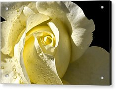 Delightful Yellow Rose With Dew Acrylic Print