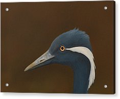 Demoiselle Crane Acrylic Print by Norm Holmberg