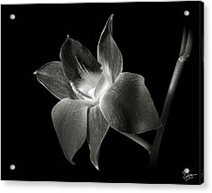 Dendrobium Orchid In Black And White Acrylic Print