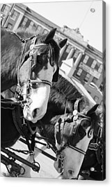 Denver Stock Show Acrylic Print by Colleen Coccia